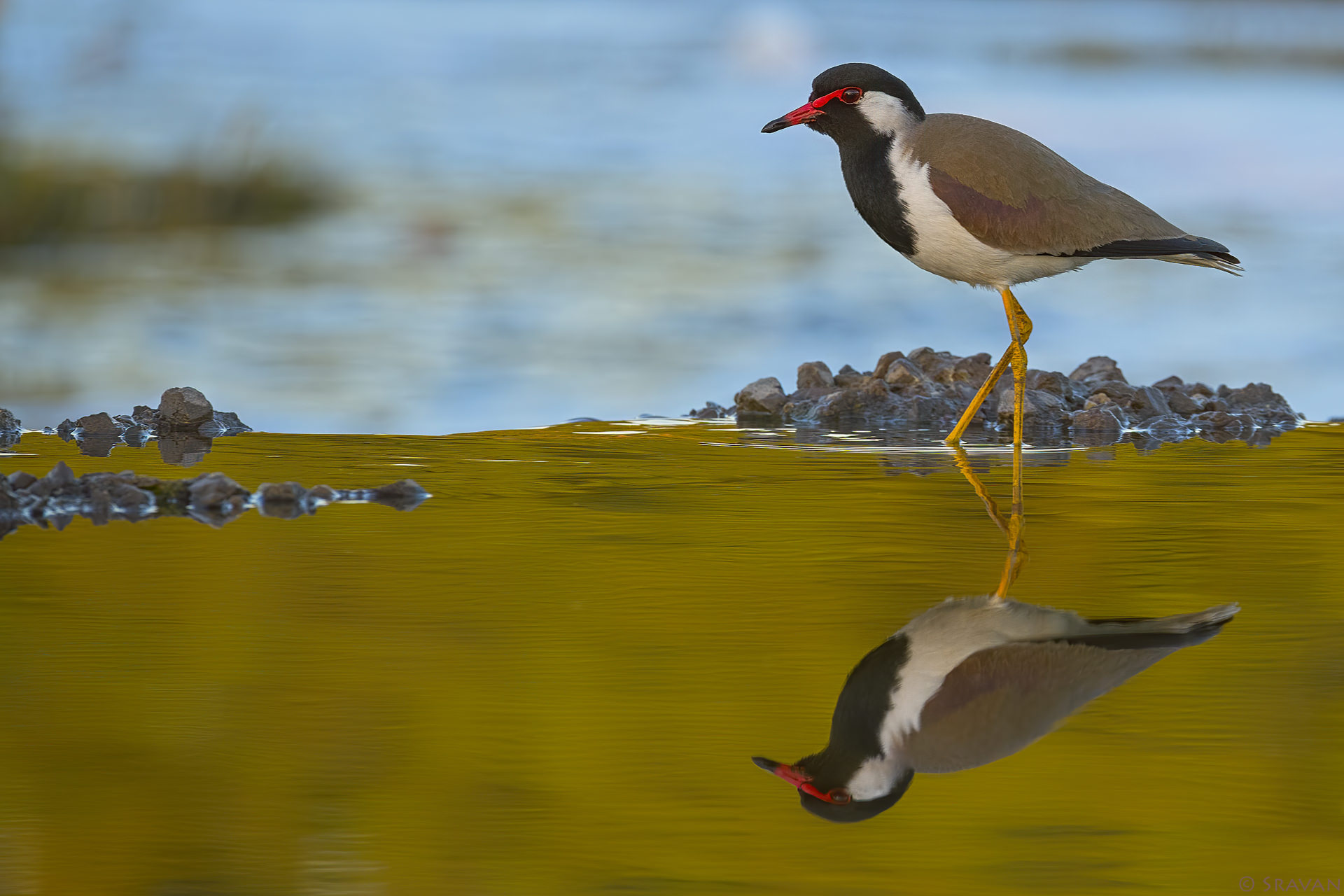 Birds 011 - Red Wattled Lapwing