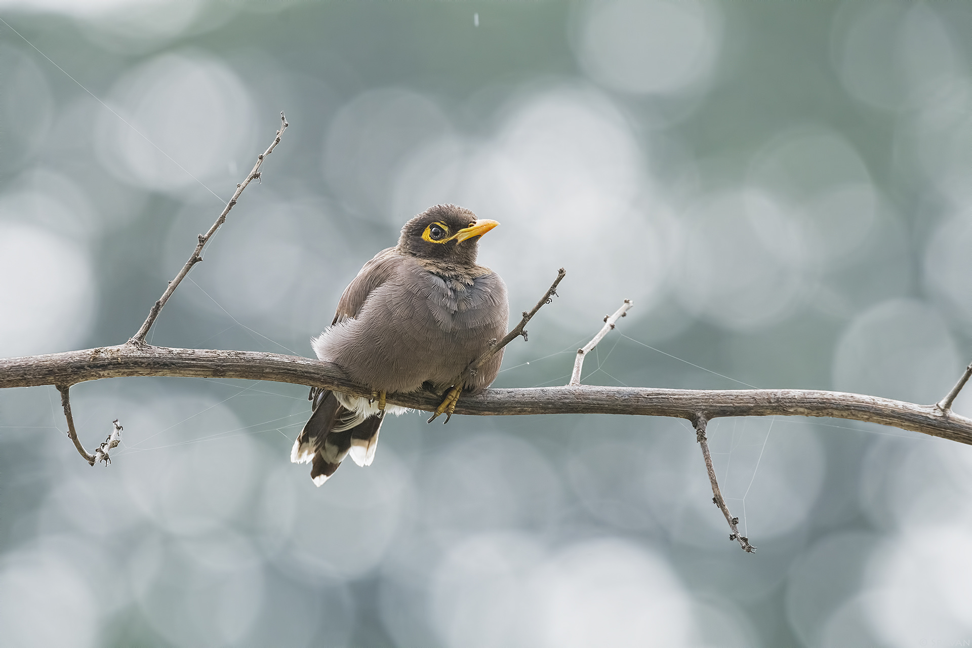 Birds 015 - Common Myna