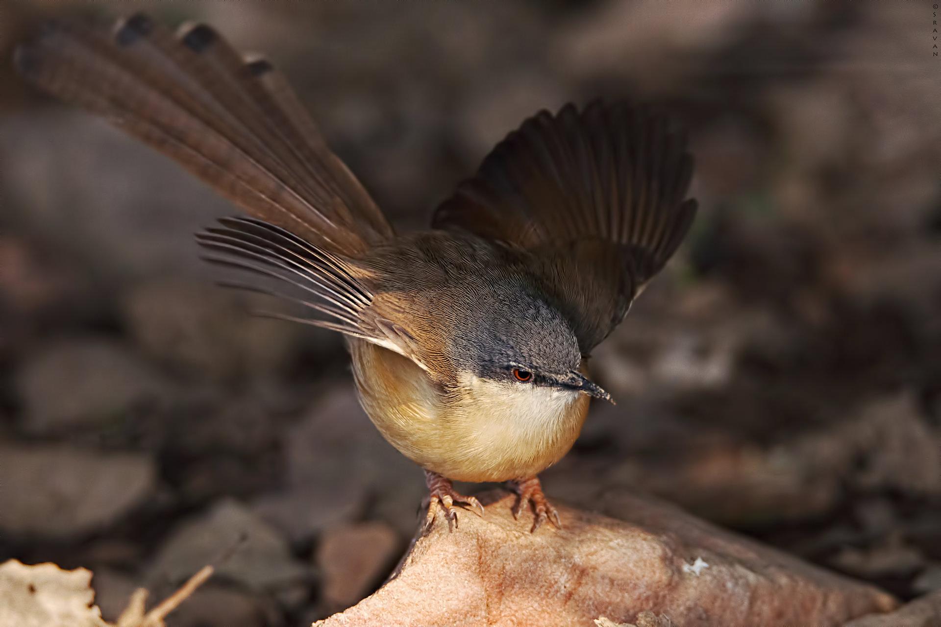Birds 215 - Ashy Prinia