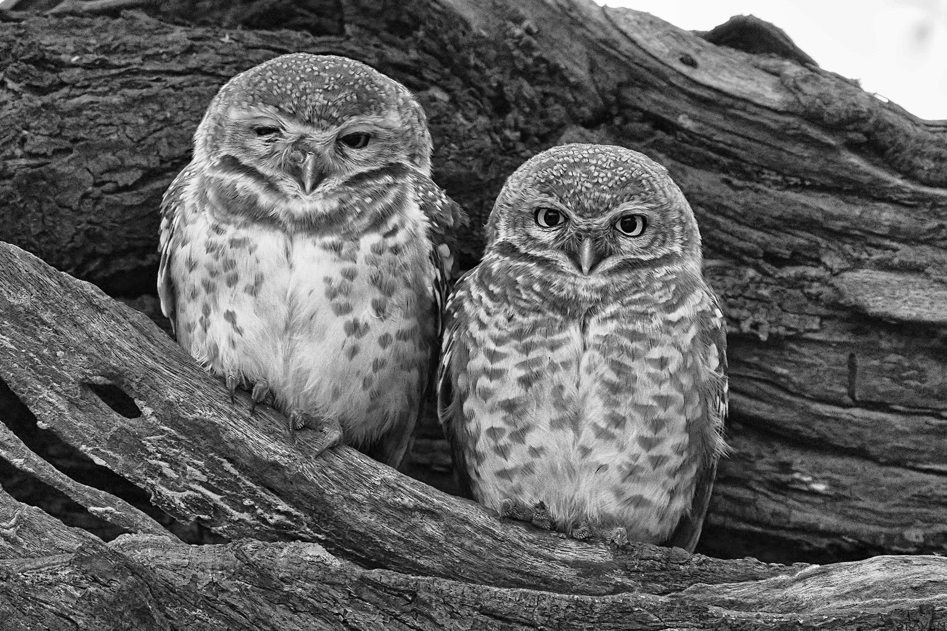 Birds 255 - Spotted Owlet