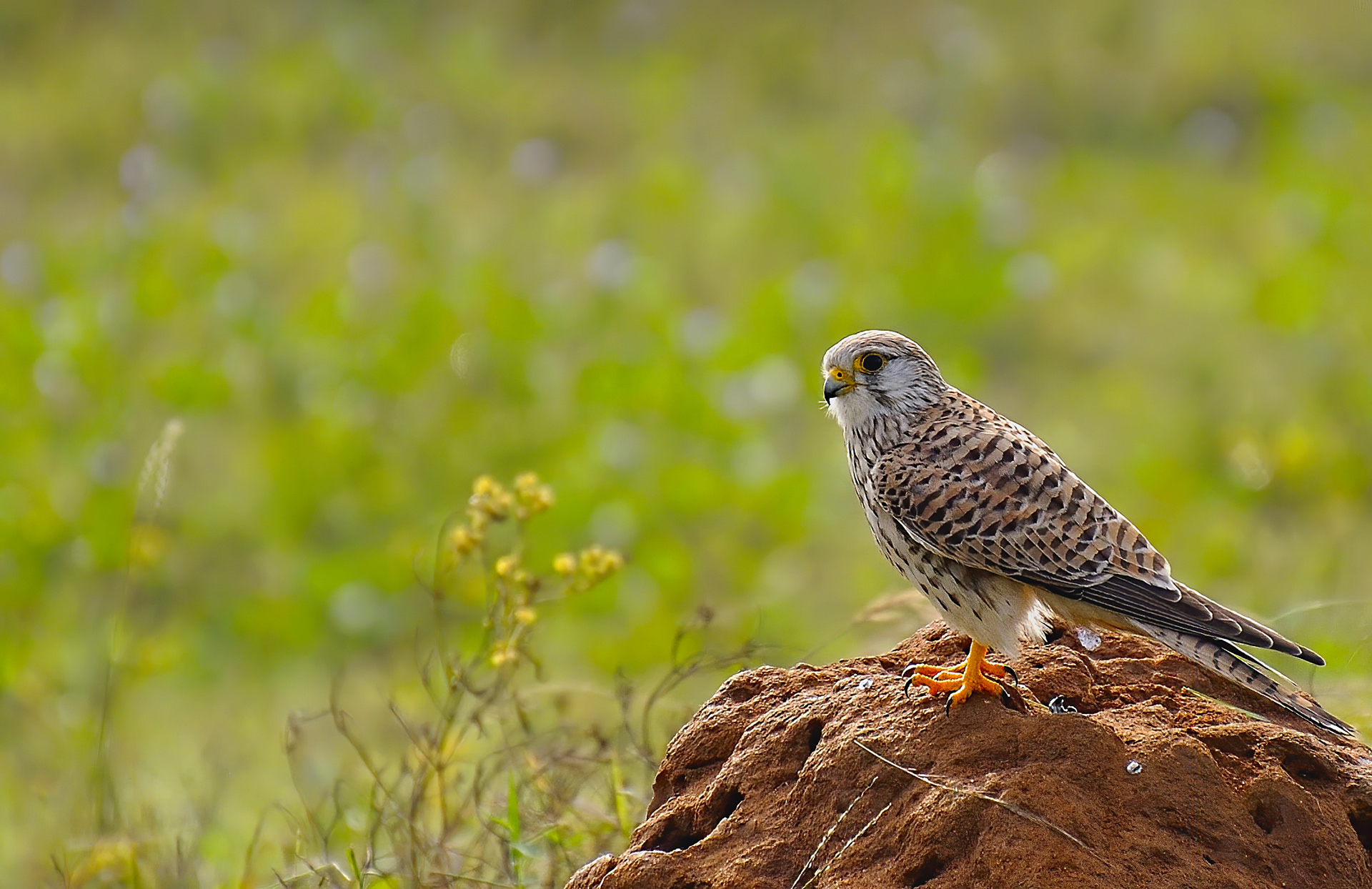 Birds 391 - Common Kestrel
