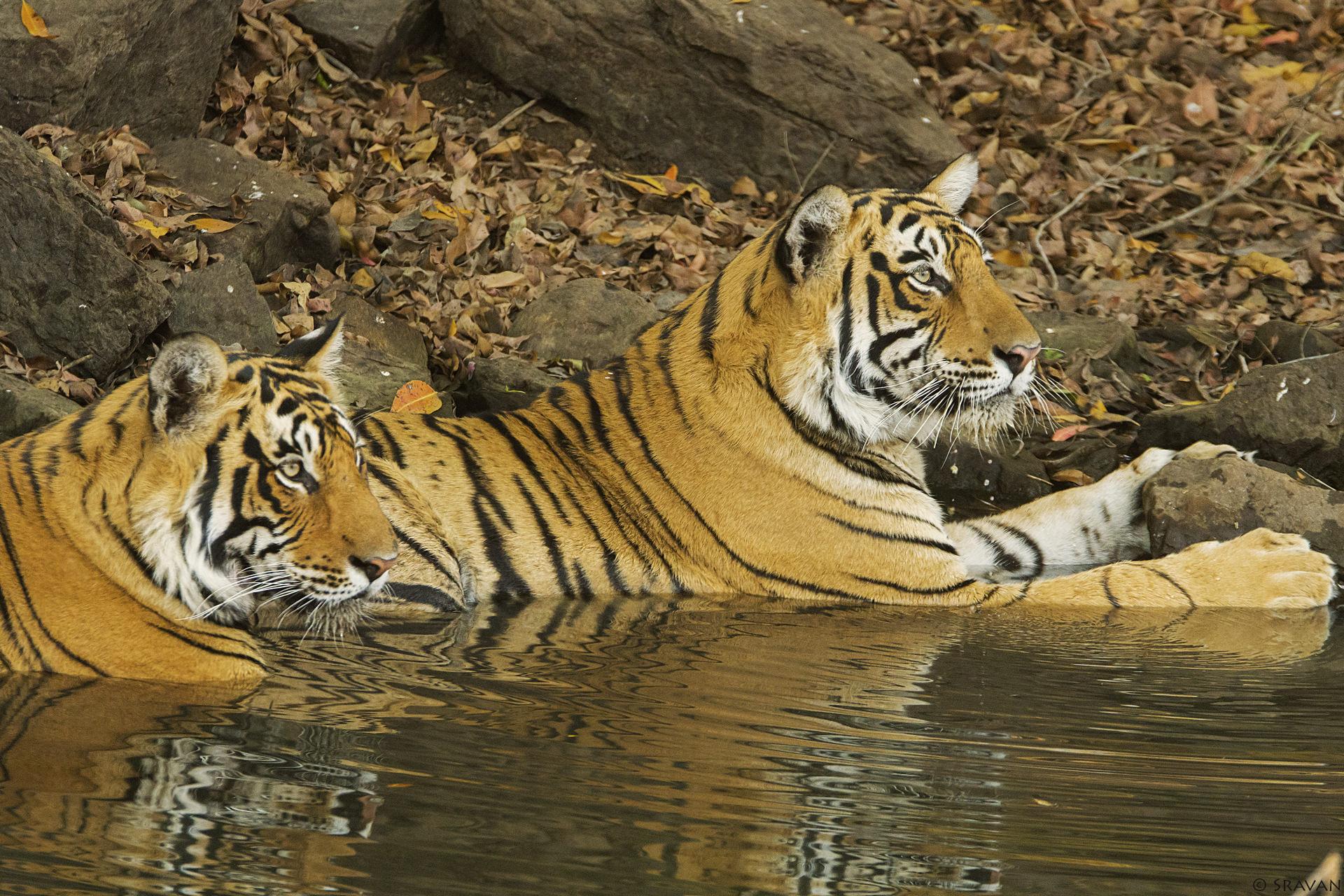 Mammals 036 - Bengal Tiger
